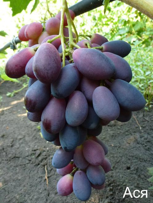 """Саженцы винограда """"Ася"""""""