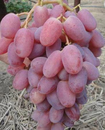 "Саженцы винограда ""Виктор"""