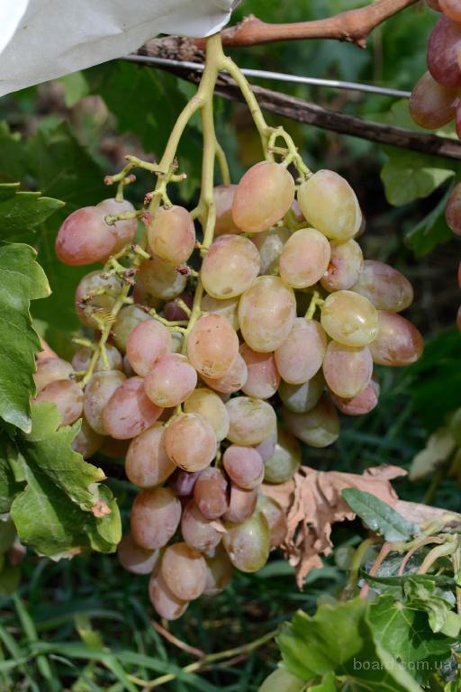 """Саженцы винограда """"Юлиан"""""""