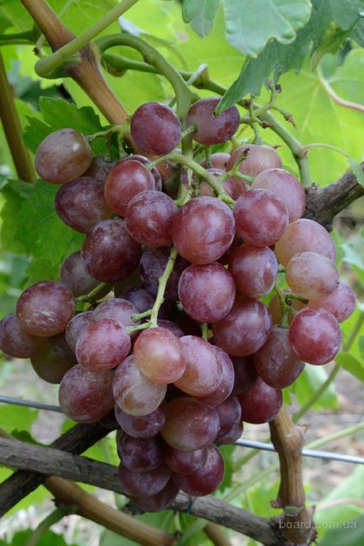 "Саженцы винограда ""Ливия"""