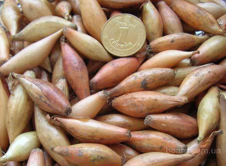 Бамбергер лук-севок (Голландия)