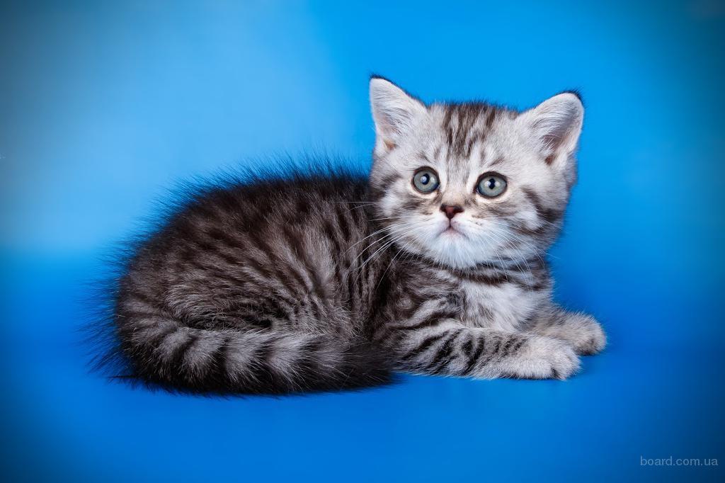 Клубные шотландские   котята VIP уровня
