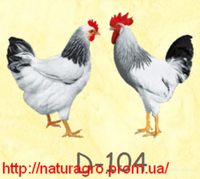 Куры, несушки мясо-яичного направления Доминант (Dominant)