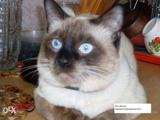 Сиамский не ориентальный (Тайский, старосиамский) кот на случку/вязку