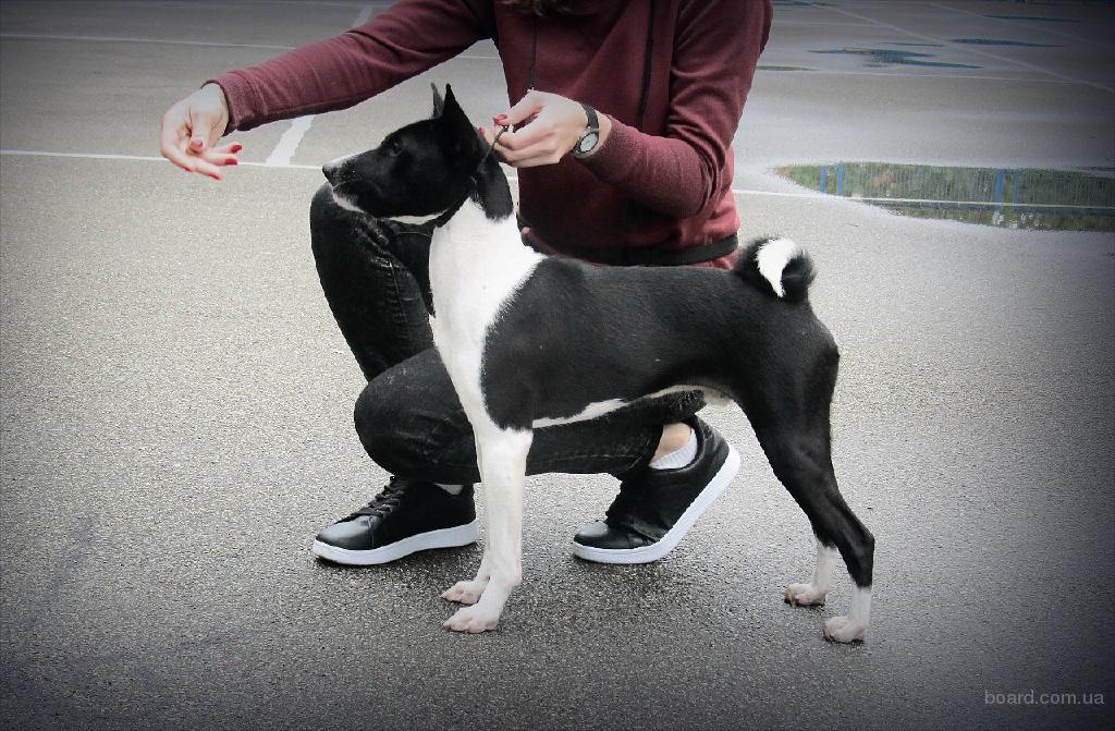 Щенок басенджи - африканской нелающей собаки