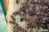 Реализуем пчеломатки Карпатки тип Вучковский