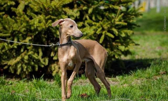 Продается щенок левретки (малая итальянская борзая)