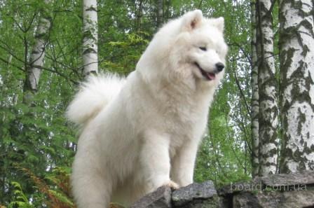 Куплю взрослую собаку - Волчий шпиц или лайка