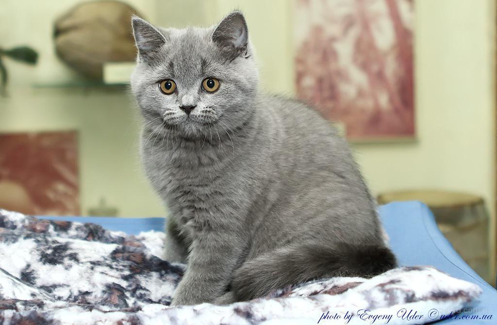 Британский короткошерстный котенок - в разведение