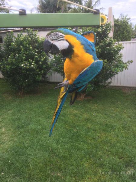 Синий и золотой попугаи ара ищут новый дом
