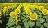 Семена подсолнечника Мегасан (производитель Лимагрейн, LG)