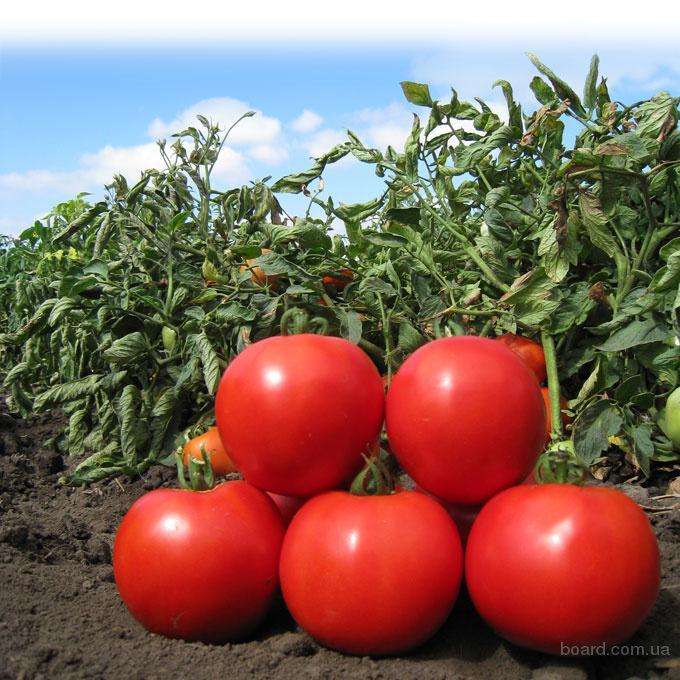 Семена томата Анита (KS 829 F1) фирмы Китано.