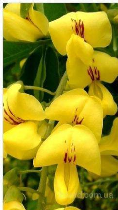 Насіння бобівника анагіролістного «Золотий дощ»