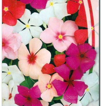 Насіння барвінку рожевого суміш