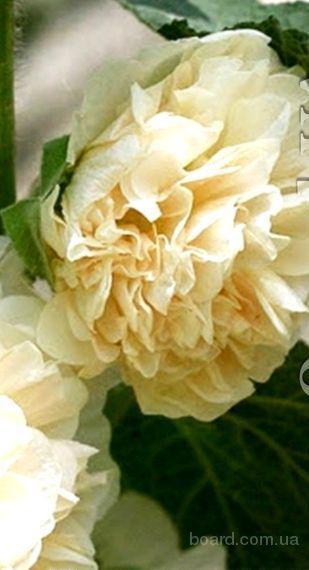 Насіння шток рози махрової, білої