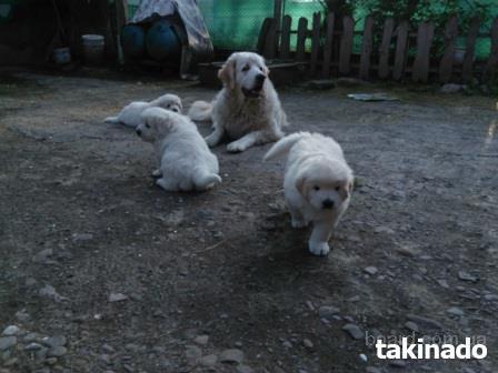 Продаю щенков подгалянской (татранской) овчарки.