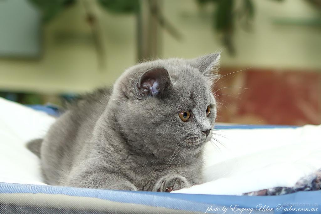 Британский котенок  от титулованных родителей, клубный