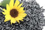 Закупаем подсолнечник масличный по всем областям Украины