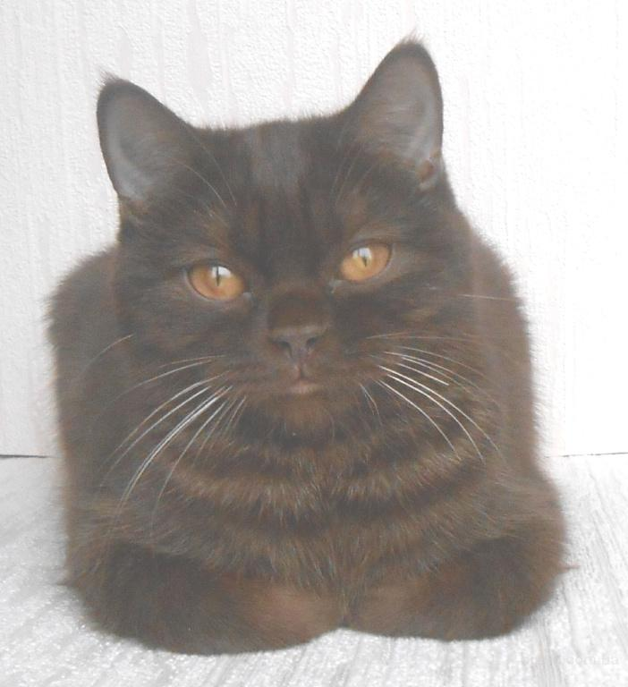Чистокровные британские котята питомника UA*Busyabri(FIFe)