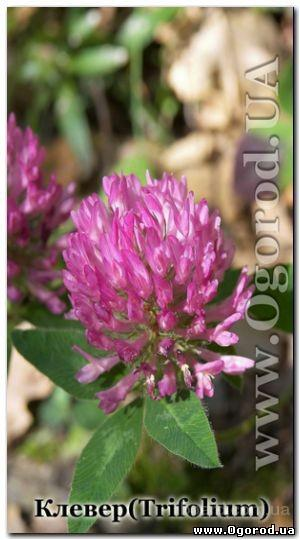 Семена клевера - 25 грамм
