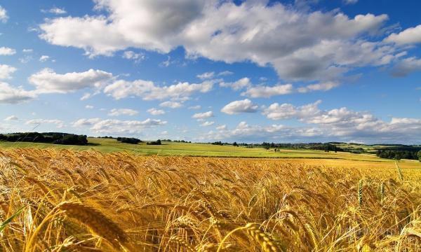 Купим дорого подсолнечник, кукурузу, пшеницу, рапс