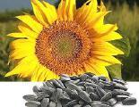продам семена подсолнечника