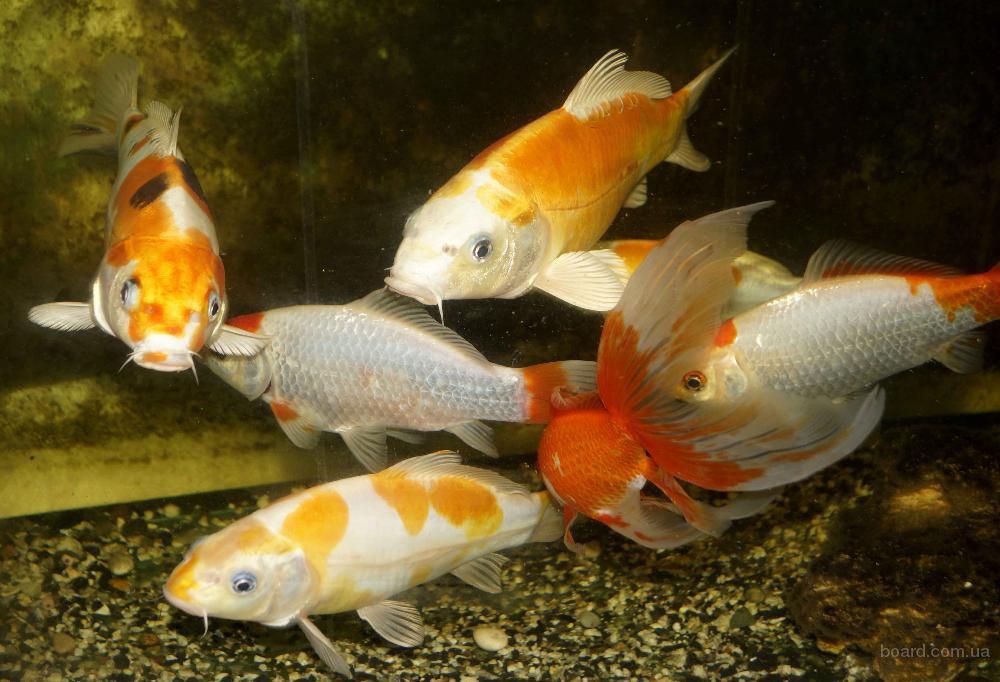 Карпы Кои прудовая рыба растения корма для рыб