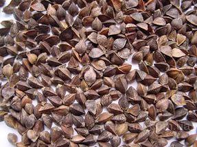Семена гречихи Слобожанка (элита)