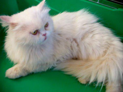 Отдам персидскую кошку в хорошие руки