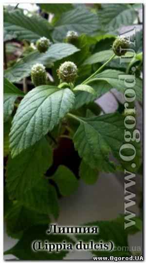 Липпия сладкая / Lippia dulcis - это многолетнее стелющееся растение из семейства вербеновых, с  красивыми и очень душистыми овальными листьями и мелк
