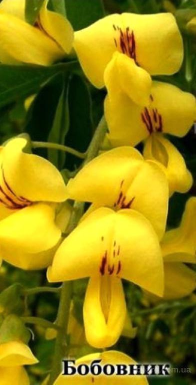 Насіння бобовника анагиролистого «Золотий дощ»