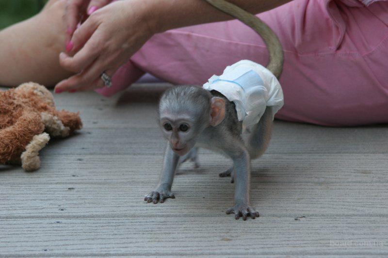 капуцин обезьян
