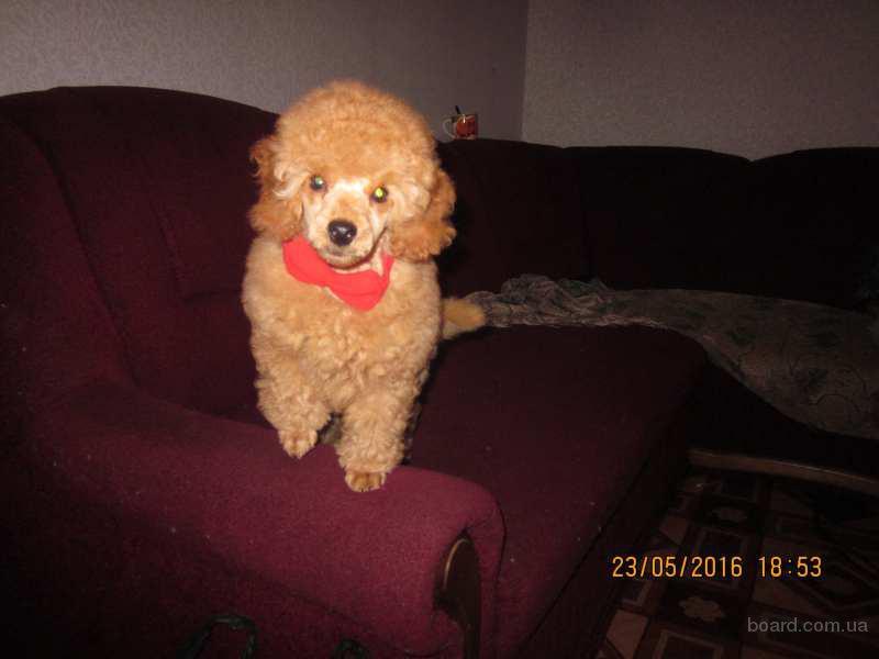 Продается щенок малого пуделя