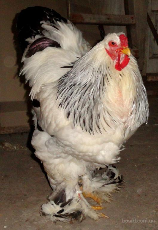 Продам кури породи брама світла та орпінгтон палевий