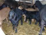 Продаю овець гіссарської породи в Івано-Франківській області