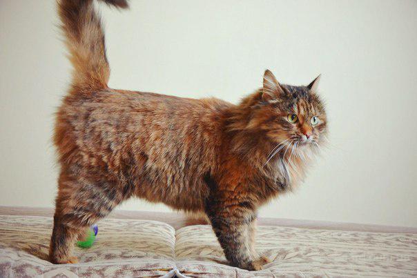 Отдам Кошку заботливым хозяевам