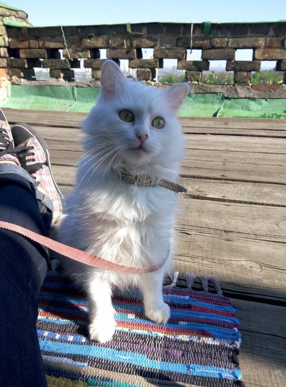 Кошка Ляля, ангорка, ищет самые добрые ручки