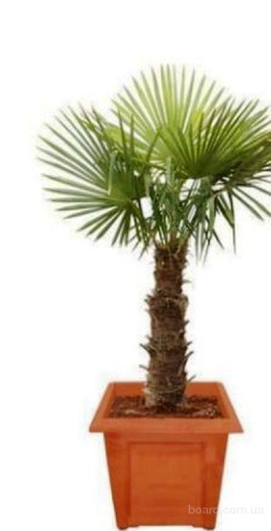 Насіння віялової пальми Форчуна