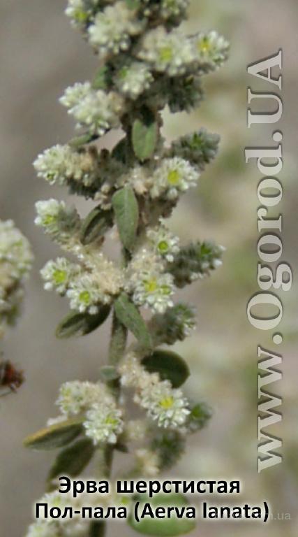 Семена эрвы шерстистой, пол-палы  - 10 семян