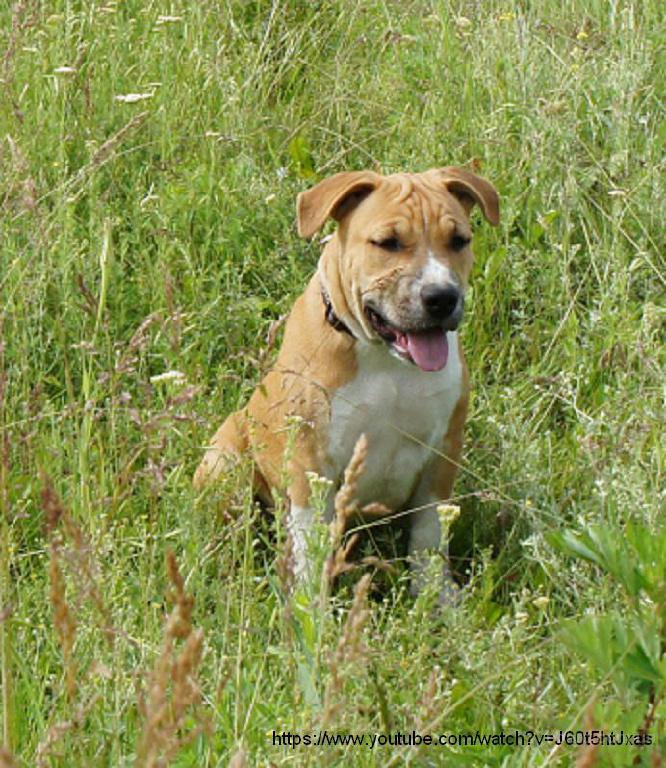 Продается очень шикарный щенок американского стаффордширского терьера