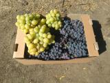 Виноргад столовый свежий