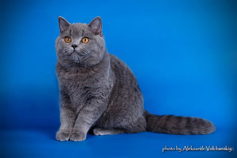 Подрощенный клубный британский котенок