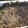 Продам бджоломатки! Українська степова порода.