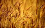 Срочно куплю пшеницу 3-кл от 1000тонн.