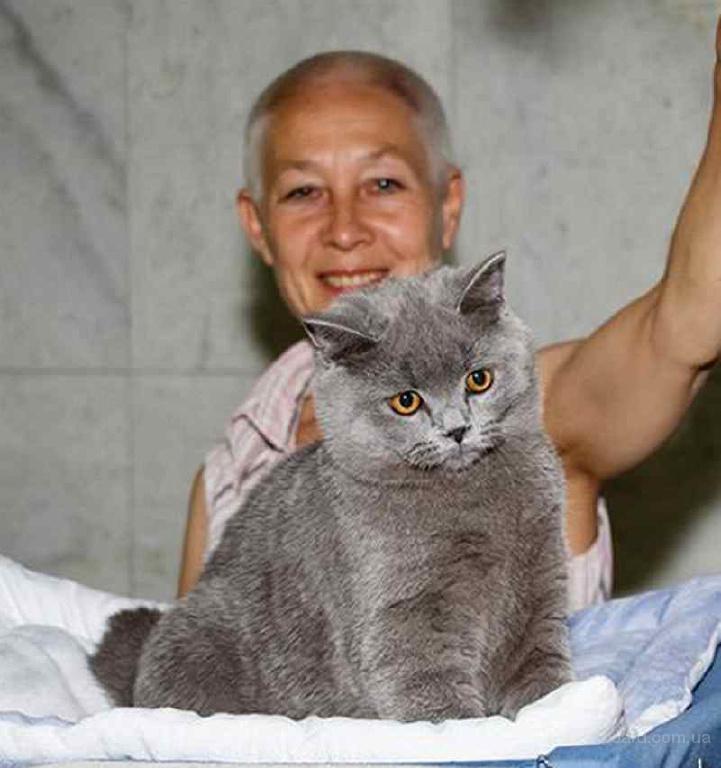 От питомника - Британский подрощенный котенок, клубный