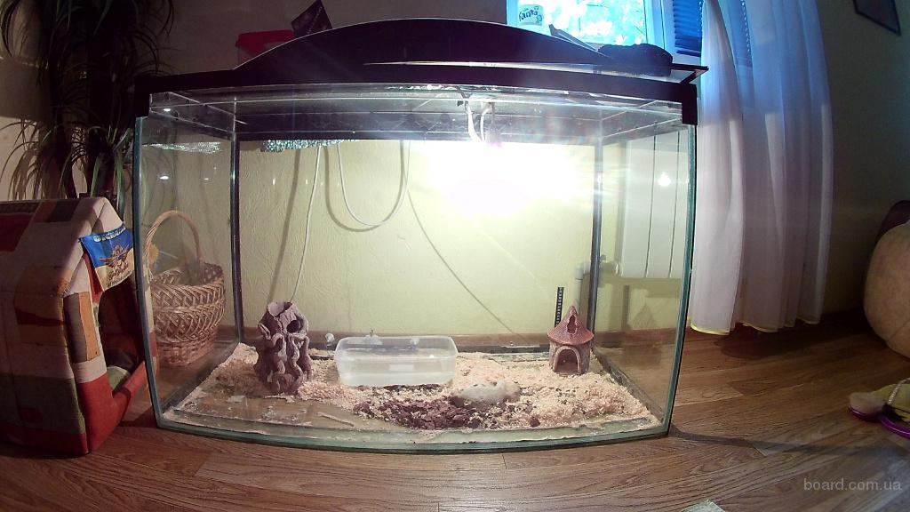 Синолойская молочная змея