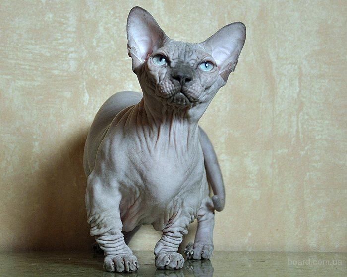 продам котят канадского сфинкса и бамбино