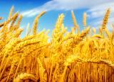 Компания на выгодных условиях закупает зерновые и масличные