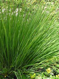 Семена проса сорта Ребраун, Стриктум, Warrior, Kavaliauskas