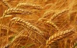 Крупная компания дорого закупает пшеницу